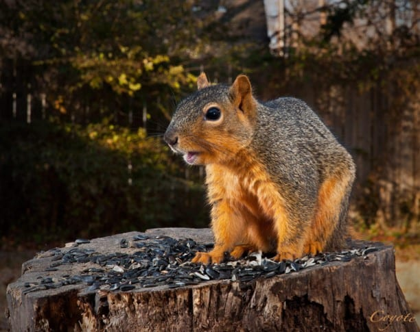 Outdoor squirrel photo by Kenton Miller using the CamRanger, motorized tripod head, and CamRanger PT Hub