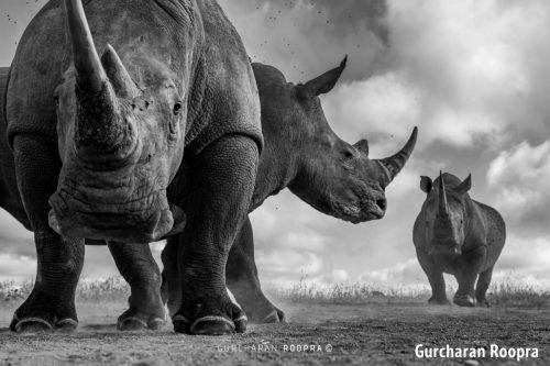 Remote Rhino Wildlife Photography